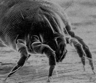 dust-mite-allergen-close-up